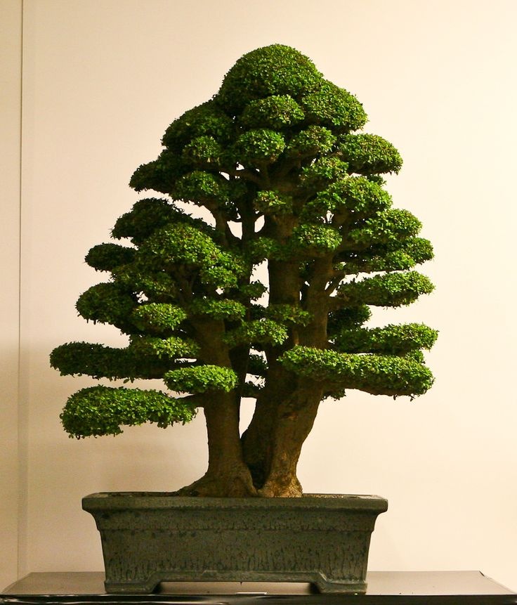 """Massive trunk; nice taper. Clear foliage pads, enough room for """"the birds to fly through"""""""