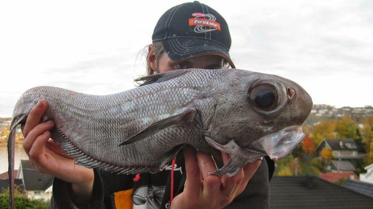 Skolest, Buttnase, Coryphaenoides rupestris. Dypvanns-torskefisk, fra 400-1200 meters dybde. Opptil 1 m lang og 60-70 år. Den lever på dypt vann på begge sider av Atlanterhavet. Arten finnes langs hele norskekysten, men mest tallrik i Sør-Norges dype fjorder og i Norskerenna. Matfisk, men lite brukt i Norge. Verdensfangst ca 30-40 000 tonn per år. et lange livsløpet gjør at fiske rammer bestanden hardt. IUCN rødliste: Kritisk truet.