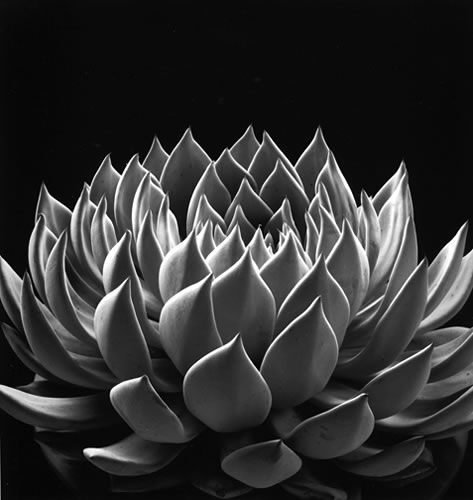 Succulent: Fe House, Art Photography, Succulents Gardens, Don Worth, Echeveria Radianc, Fine Art, Botanical Photographers, Echeveria Succulents, Black