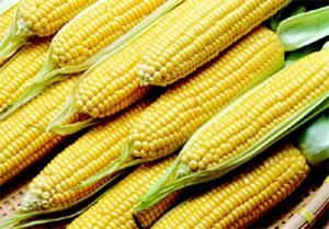 Como plantar milho doce