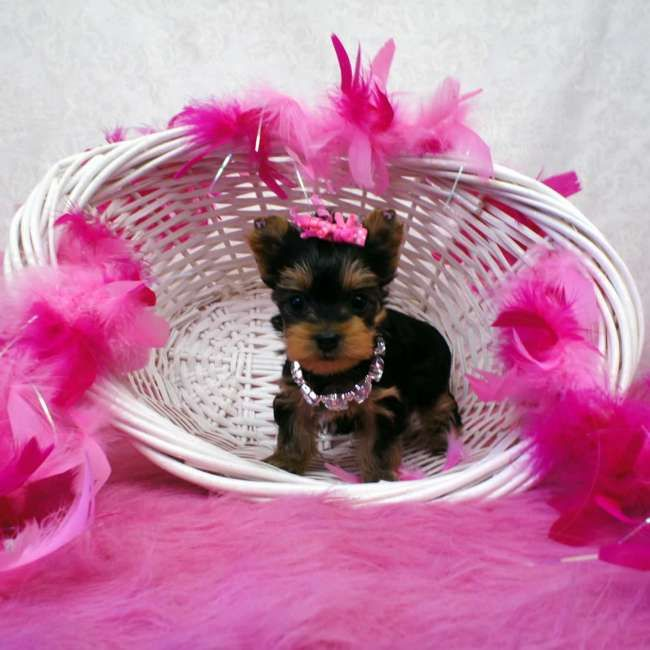 Kylie - Mini Yorkie Puppy. She most likely will be around 3.0 - 4.0 lbs. full grown. She is AKC registered, microchipped and comes with a one year health guarantee. To view other teacup Yorkies visit http://www.elvisyorkshireterrier.com/teacup-yorkies-for-sale.php