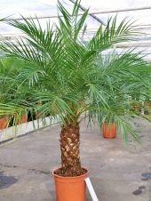 Zwergdattelpalme -  Phoenix roebelenii