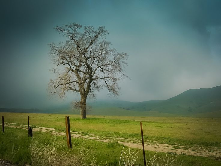 Standing Alone A lone oak on Hwy 223 in Kern County, California on the foothills of the Tehachapi Mountains soaks up the morning mist. Shot with a 2.1 megapixel Olympus D490z in 2003.  Photos by David Seibold