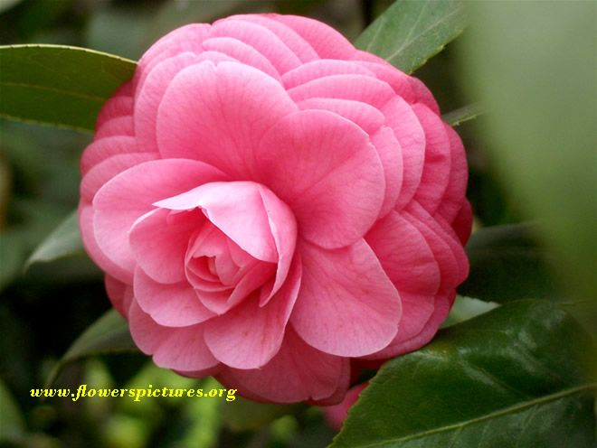 camillia | Red camellia flower pictures, pictures of red camellia