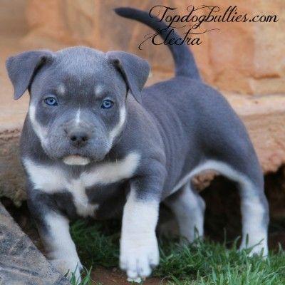 Best 25 Pitbull Puppies For Sale Ideas On Pinterest