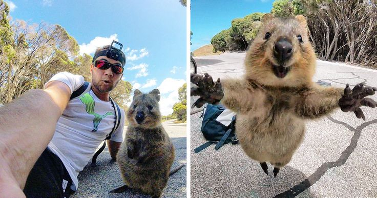 Man Meets Quokka, Quokka Won't Leave Him Alone | Bored Panda