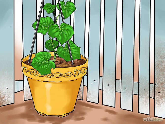 Grow Cucumbers in Pots. Detailed instructions with great illustrations!