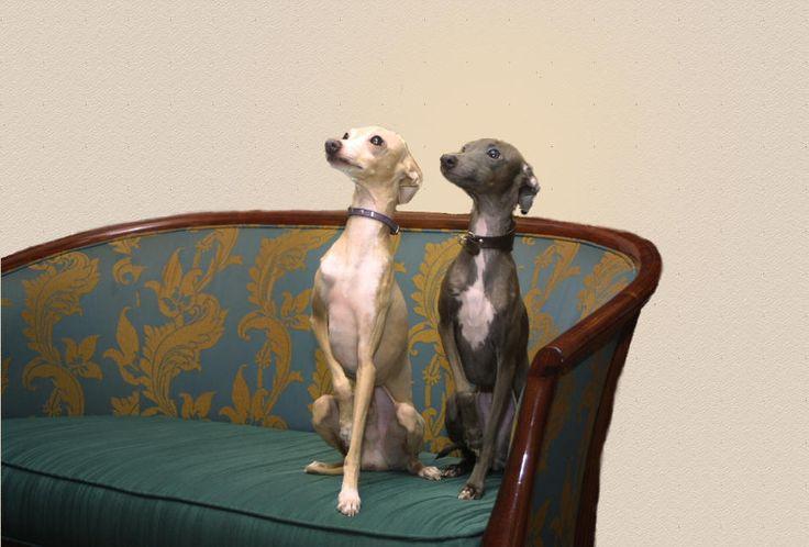 itialn grey hounds   Italian Greyhounds, English Pointer,