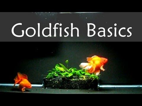 Goldfish Care Basics : Tank Size - YouTube