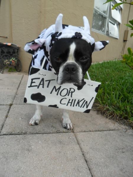 [Slideshow] Amazing Boston Terrier Photos You Won't Be Able To Stop Looking At | iBostonTerrier.com - The Authority For All Things Boston Terrier