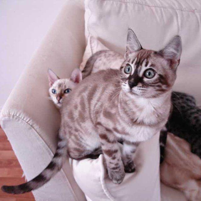 Le BENGAL, ce chat mystérieux et gracieux se trouve dans l'élevage la CHATTERIE SECRET dans l'Essonne.