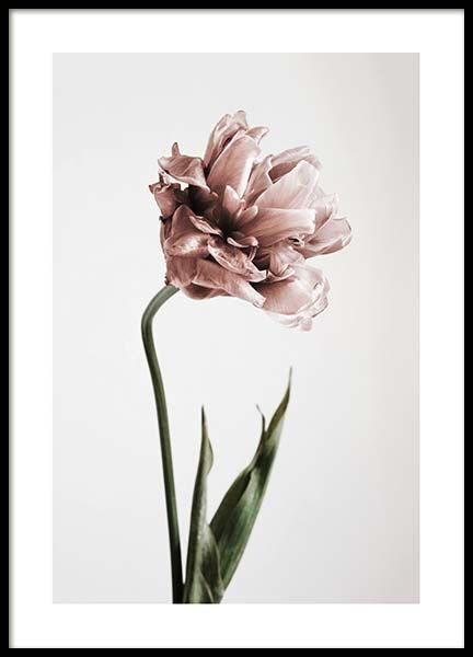 Pink Tulipe no1 Poster in the group Posters & Prints / Bestsellers at Desenio AB (2119)