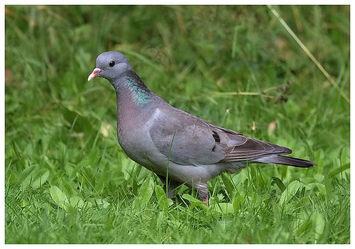 https://flic.kr/p/7yGPwX | Stock Dove | One of a pair of stock doves that frequented the garden in the summer of 2009.