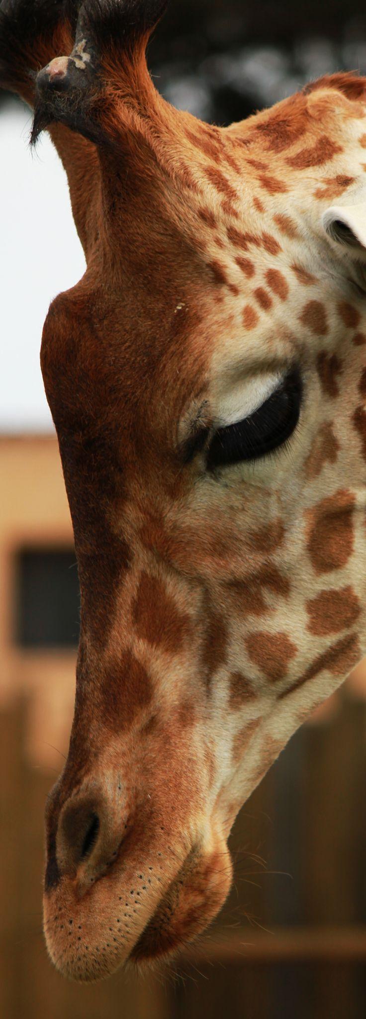 Beautiful giraffe!!