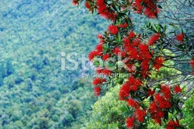 Rata in Bloom (Metrosideros Umbellata) Royalty Free Stock Photo