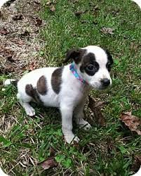 Image result for beagle pointer mix