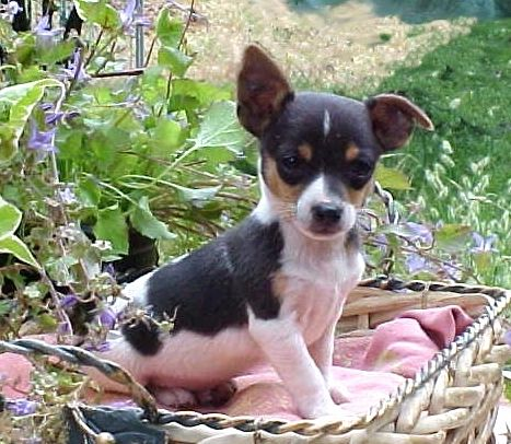 Rat Terrier puppies are absolutely ADORABLE!