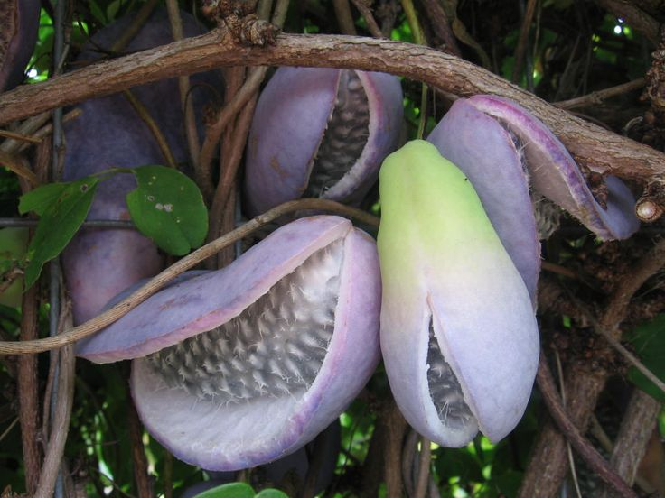 """The lovely fruits of Akebia quinata, the """"chocolate vine."""" Flowers smell like chocolate and the fruits are gelatinous and sweet. Other parts of the vine are used in chinese traditional medicine (mu tong)."""