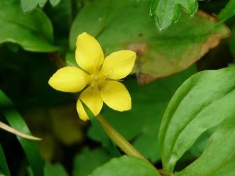 Yellow Pimpernel: in a shady glade | Nature Notes from Dorset