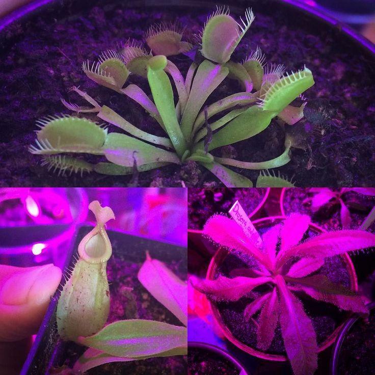 Ya llegaron nuevamente las 'Venus atrapamoscas' (Dionea muscipula)! También tenemos más especies de plantas carnívoras todas propagadas localmente aptas para climas tropicales y vienen con su guía de cuidado y soporte pos-venta. Hoy las pueden conseguir en el #slowfoodyucatan hasta la 1 PM y estamos en la tienda hasta las 5 PM lindo sábado!  #dionea #venusflytrap #plantascarnivoras #plantnerd #nepenthes #drosera by suculentasdzitya