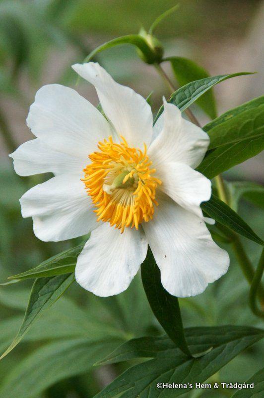 Paeonia 'Early Windflower' | En korsning mellan rosenpion och näckrospion. Den blommar med flera blommor på varje stjälk.