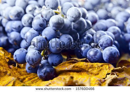 New crop of grapes for wine manufacture - stock photo