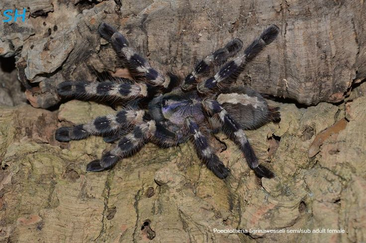 62 best Tarantulas images on Pinterest | Hand spinning, Spiders and Bugs