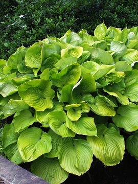 Hosta Sum And Substance - will grow in sun to full shade. This tough hosta has huge, corrugated yellow-green leaves that seem to ward off slugs and snails.