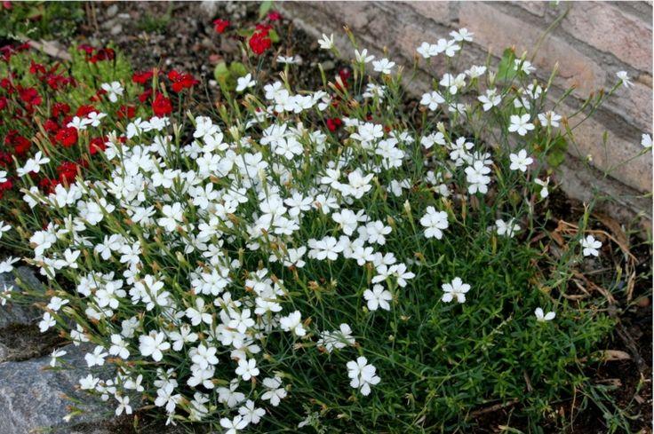 nelken-garten-pflanzen-heide-nelke-weiss-haus-fassade-dekorieren-beet