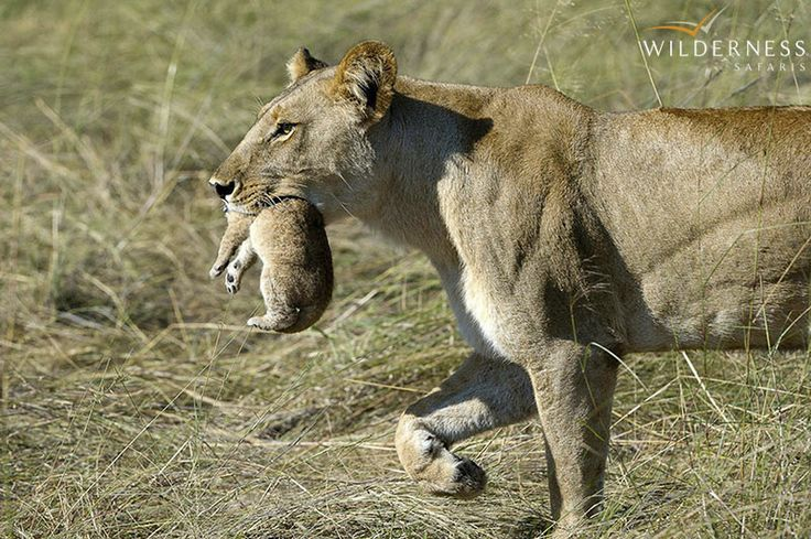 Jacana Camp – Lion dynamics in the area are interesting…owing to the semi aquatic landscape #Africa #Safari #Botswana