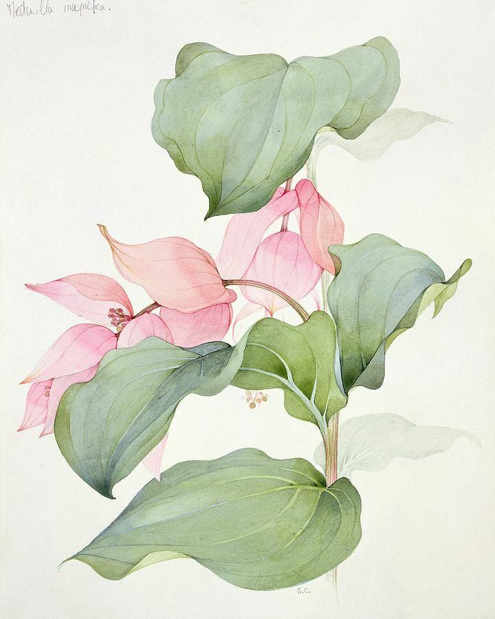 Medinilla Magnifica Painting  - Medinilla Magnifica Fine Art Print