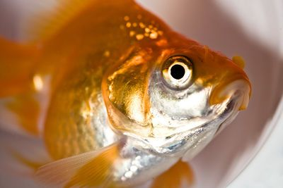 Many fish die because their owners don't know about three very easily solved problems: overstocking, overfeeding, and overcleaning. See fish care tips on Almanac.com.