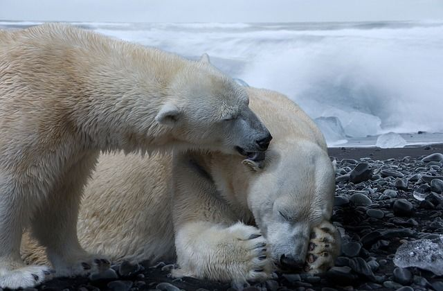 Complete information on How Much Do Polar Bears Weigh. Get to know the average adult polar bear weight of both male and female. Learn about the baby polar bear weight and how much it gains as it grows. Know the heaviest polar bear ever recorded and a weight comparison table of all bear species to give you a more clear picture.