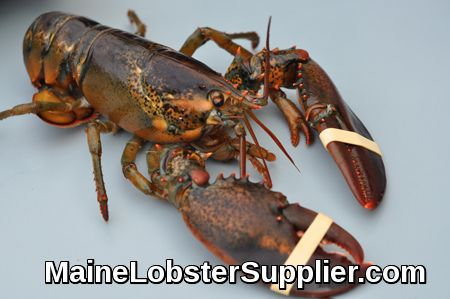 Whole Maine Lobsters, MaineLobsterSupplier.com, overnight, Fresh Live Hard Shell Maine Lobsters, guaranteed overnight shipping  https://mainelobstersupplier.com/whole-maine-lobsters/