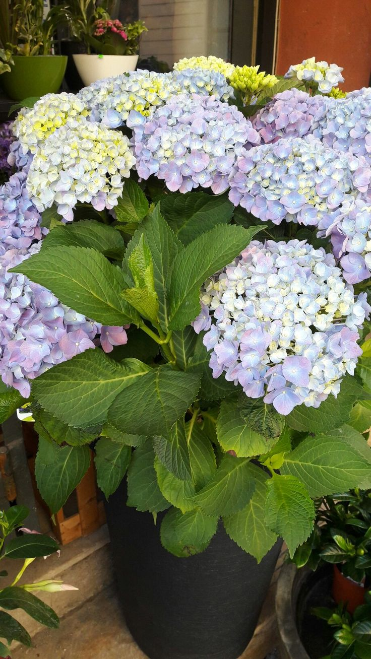 My favorit color of hydrangea