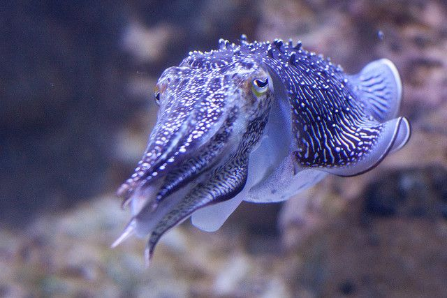 """Cuttlefish, although color-blind, are able to rapidly change the color of their skin to match their surroundings and create chromatically complex patterns, through some other mechanism which is not yet understood. They have been seen to have the ability to assess their surroundings and match the color, contrast and texture of the substrate even in total darkness."""