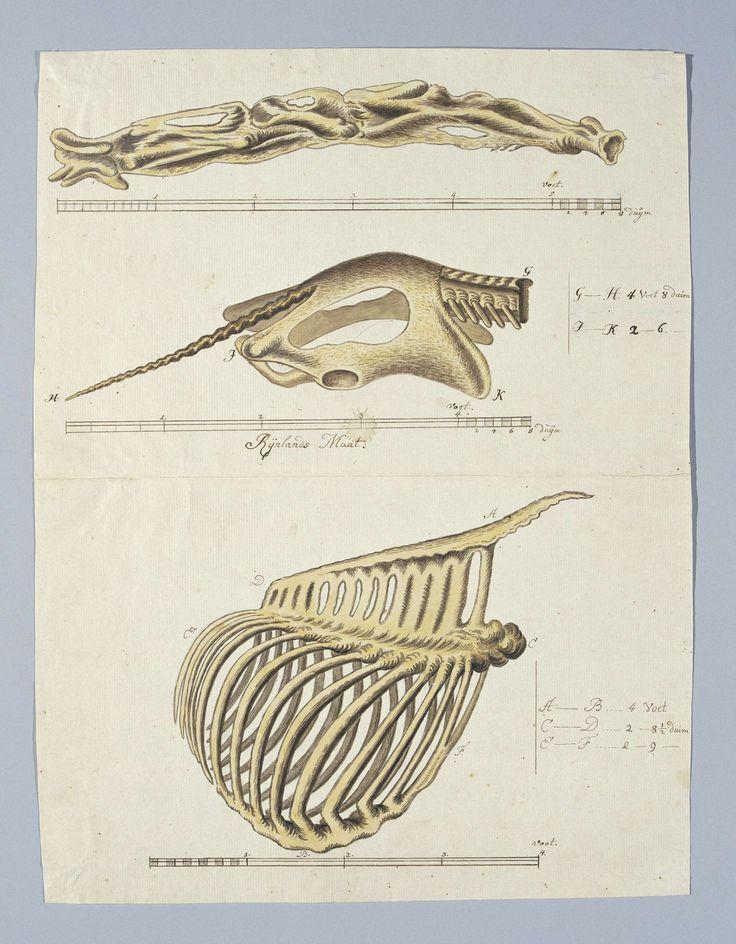 17 beste idee u00ebn over Ribbenkast op Pinterest   Anatomie tekening, Menselijk skelet en Skelet kunst