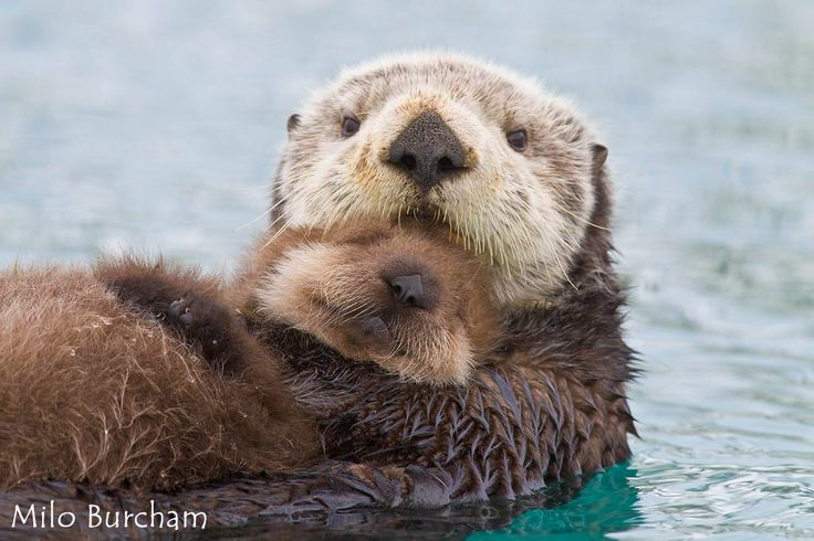 Milo Burcham's photo of sea otter momma hugging her baby