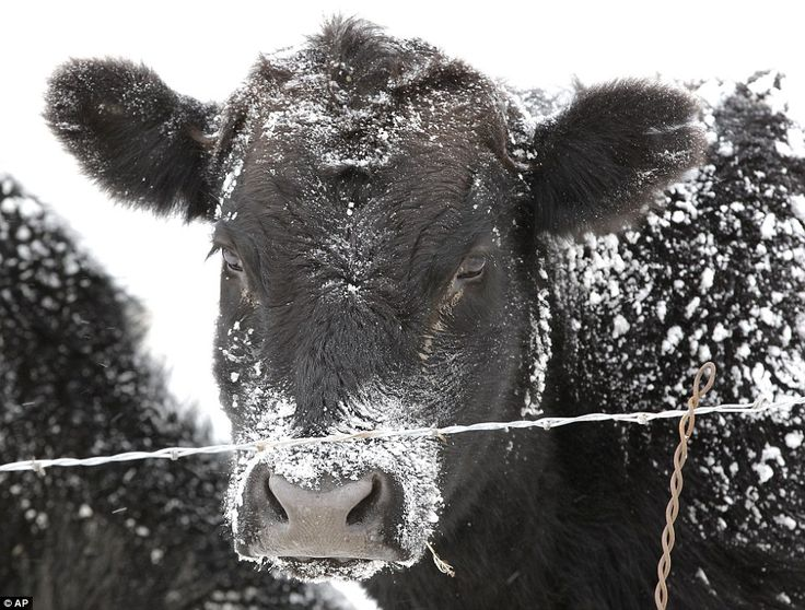 A bit chilly: A cow's black fur is dusted with snow on a ranch in Superior, Colorado after the snowstorm