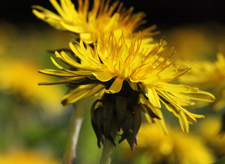 Dandelion • Active and Eco - sport   outdoor   healthy lifestyle   nature   ecology   design