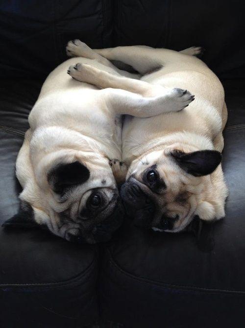 Cuddle pugs,  Go To www.likegossip.com to get more Gossip News!
