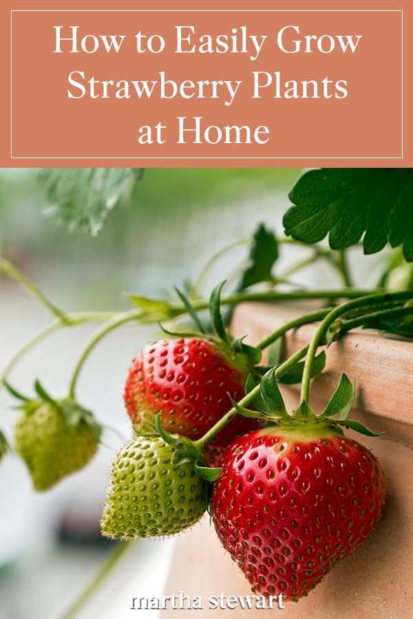 How To Grow Strawberry Plants At Home Growing Strawberries Strawberry Plants Strawberries In Containers