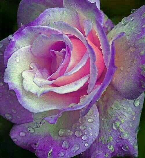 Rose lila weiß | flower ❇ | Pinterest | Roses  Rose Garden Portland Oregon September 26 2010 Photo by: sgblyth A great shot of a rose with water drops taken at the International Rose Test Garden