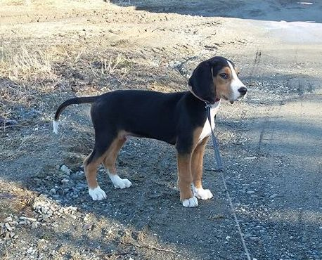 Diesel, our Finnish hound. 11 weeks in this picture.