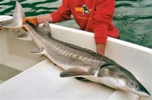 Atlantic Sturgeon Fish