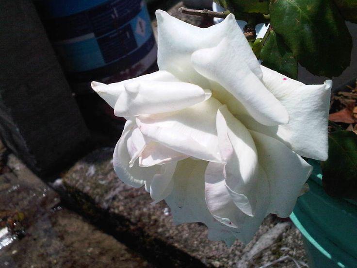 Una blanca del verano.