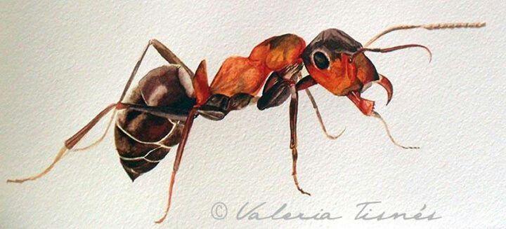Ilustracion de hormiga en acuarela
