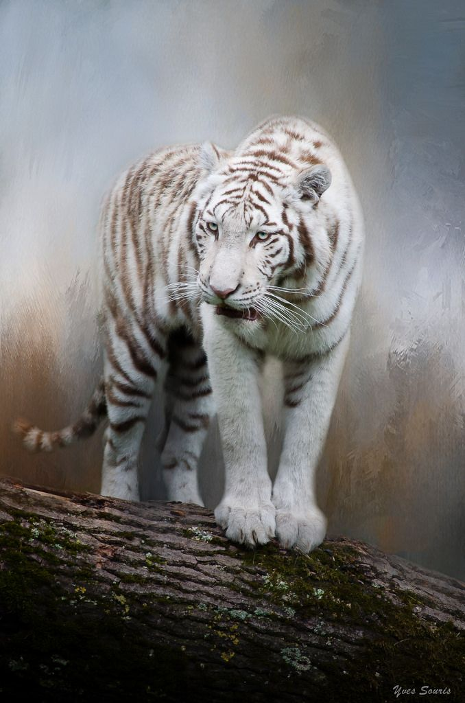 ~~The White Tiger by Yves Souris | YS-Photography~~