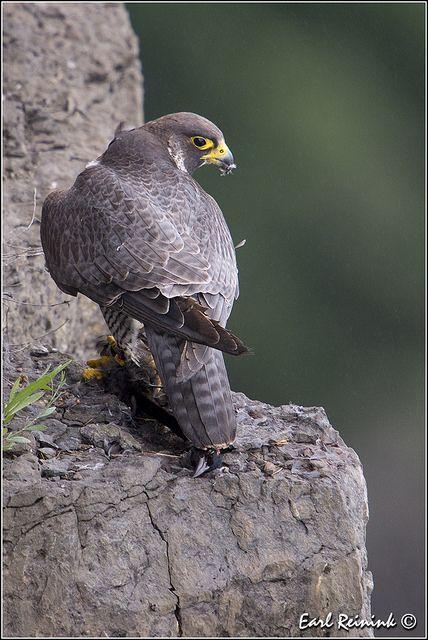 Peregrine Falcon | Earl Reinink