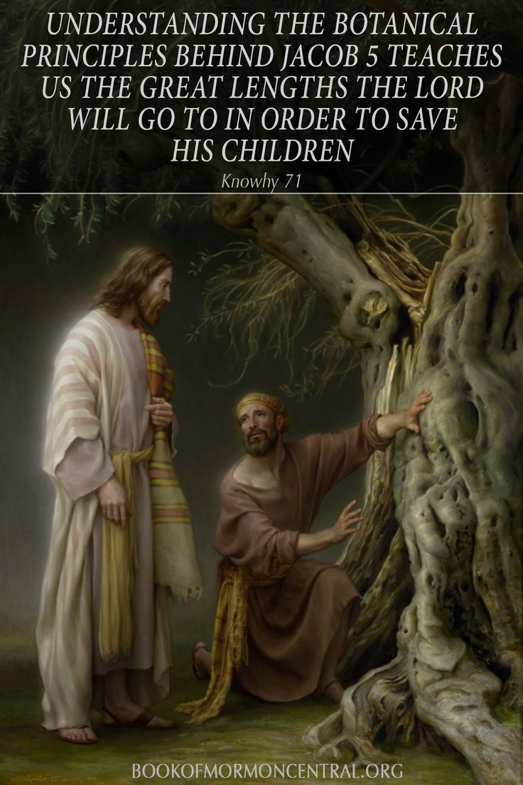 Understanding the botanical principles behind Jacob 5 teaches us the great lengths the Lord will go to in order to save His children. https://knowhy.bookofmormoncentral.org/content/why-did-zenos-give-so-many-details-about-raising-good-olives #OliveTree #Botany #Lord #Mormon #LDS #BookofMormon #Knowhy